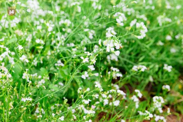Chùm ảnh: Ngắm mùa hoa ban, hoa cải trắng đẹp mê mẩn ở Đà Lạt 4