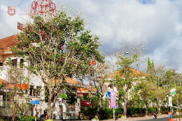 Chùm ảnh: Ngắm mùa hoa ban, hoa cải trắng đẹp mê mẩn ở Đà Lạt 9