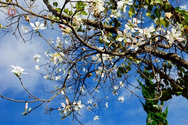 Chùm ảnh: Ngắm mùa hoa ban, hoa cải trắng đẹp mê mẩn ở Đà Lạt 12