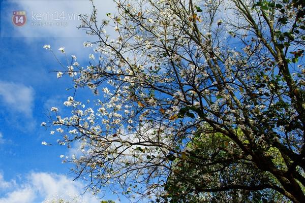 Chùm ảnh: Ngắm mùa hoa ban, hoa cải trắng đẹp mê mẩn ở Đà Lạt 14