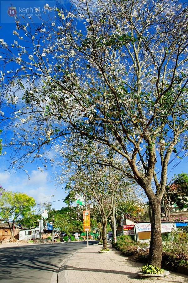 Chùm ảnh: Ngắm mùa hoa ban, hoa cải trắng đẹp mê mẩn ở Đà Lạt 15