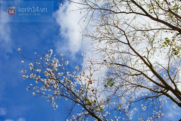 Chùm ảnh: Ngắm mùa hoa ban, hoa cải trắng đẹp mê mẩn ở Đà Lạt 16
