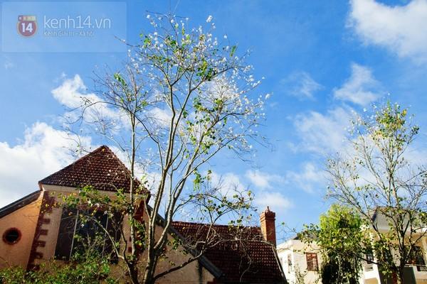 Chùm ảnh: Ngắm mùa hoa ban, hoa cải trắng đẹp mê mẩn ở Đà Lạt 17
