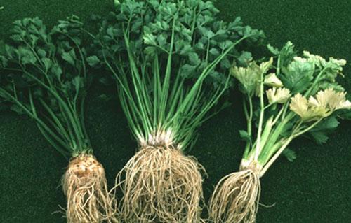 Tác dụng từ vỏ, lá, hạt và rễ của một số rau quả 3