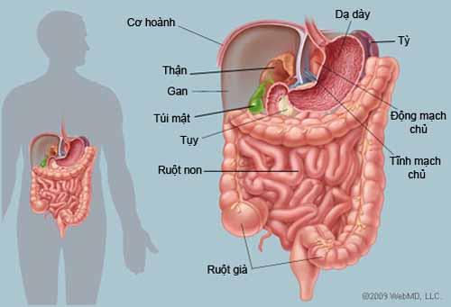 Vài điều quan trọng bạn phải biết về hệ đường ruột của mình 1