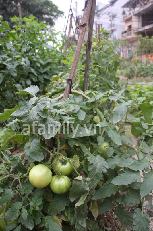Hà Nội rộ mốt trồng rau sạch tại gia 6