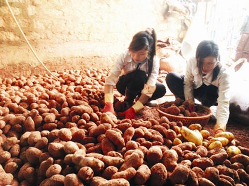 Cận cảnh công nghệ nhuộm đất đỏ Đà Lạt cho khoai tây Trung Quốc 1