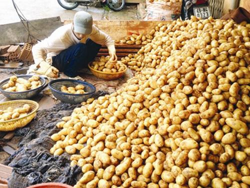 Cận cảnh công nghệ nhuộm đất đỏ Đà Lạt cho khoai tây Trung Quốc 2