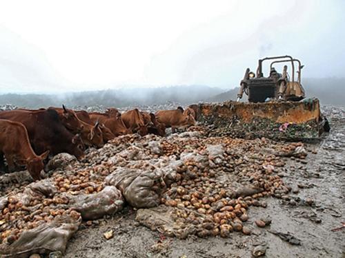 Cận cảnh công nghệ nhuộm đất đỏ Đà Lạt cho khoai tây Trung Quốc 3