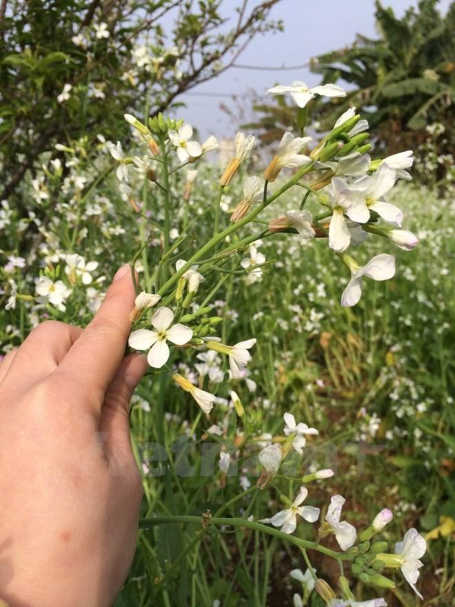 Dạo qua các địa điểm chụp ảnh hoa cải
