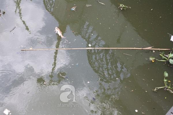 Quá ô nhiễm, cá chết hàng loạt dưới kênh Nhiêu Lộc 14