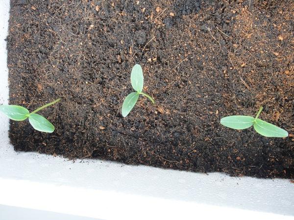 Tự trồng dưa chuột tại nhà: làm đẹp và làm xanh không gian sống 7