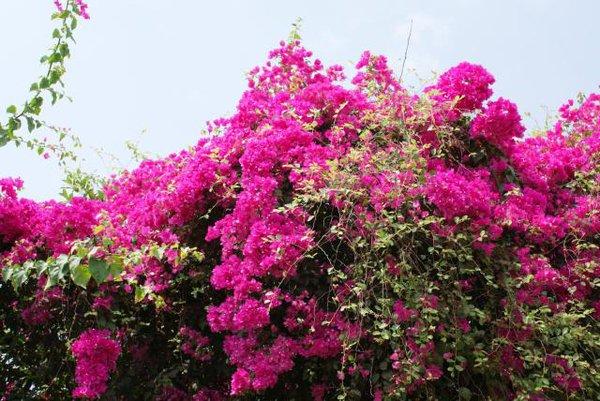 Những giống cây hoa thích hợp để làm giàn leo trước nhà 9