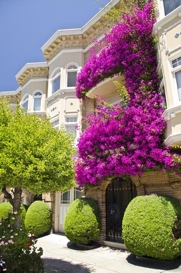 Những giống cây hoa thích hợp để làm giàn leo trước nhà 3
