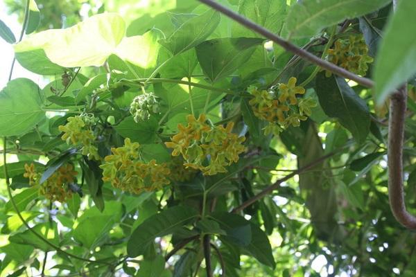 Những giống cây hoa thích hợp để làm giàn leo trước nhà 7