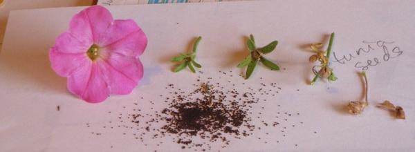 Trồng hoa dạ yến thảo che khuyết điểm cho ban-công cũ 4