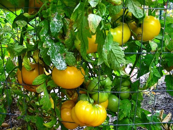 Cách trồng cà chua ngon và sai quả cho các