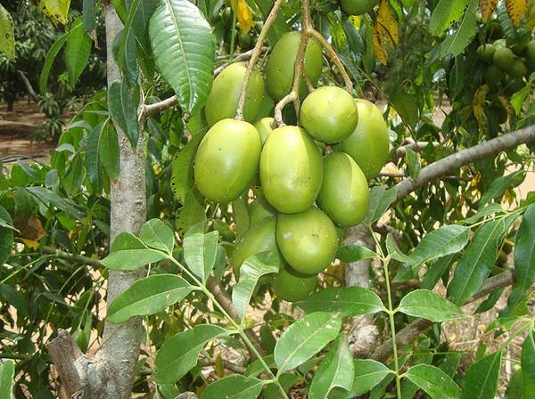 Hướng dẫn trồng cây cóc Thái cực sai quả trong chậu ở nhà phố 7