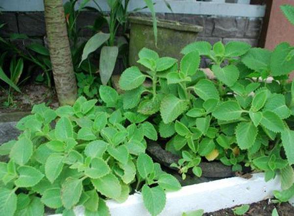 hướng dẫn trồng húng chanh