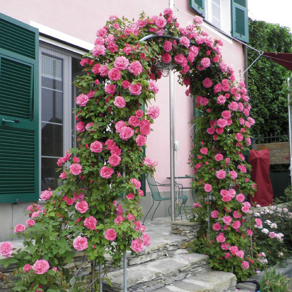 trồng hồng leo trước cổng nhà 1