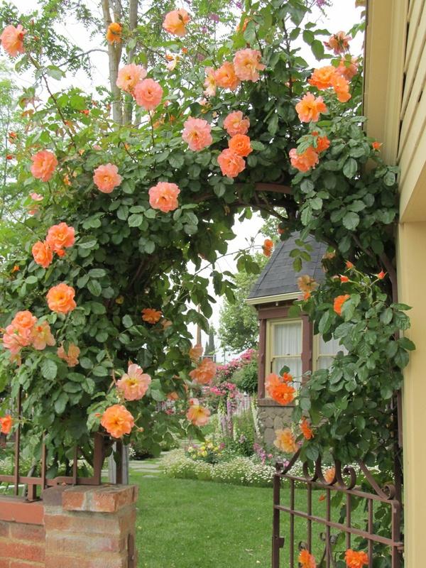 trồng hồng leo trước cổng nhà 2