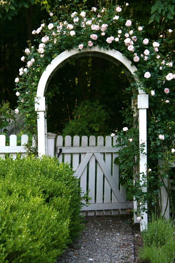 trồng hồng leo trước cổng nhà 3