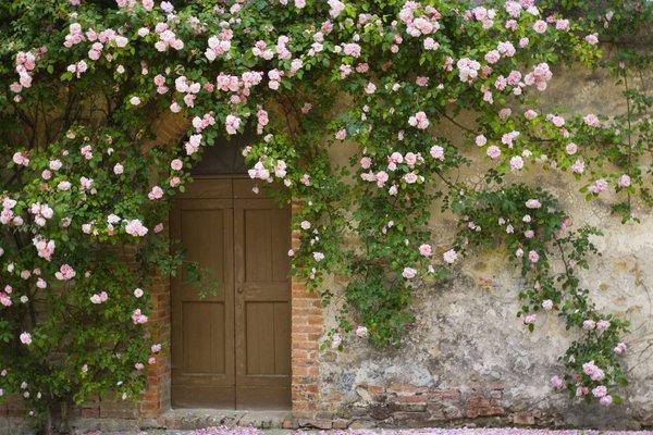 trồng hồng leo trước cổng nhà 4