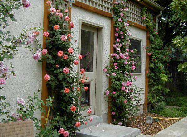 trồng hồng leo trước cổng nhà 5
