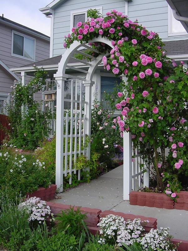 trồng hồng leo trước cổng nhà 6