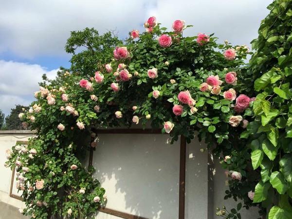 trồng hồng leo trước cổng nhà 10