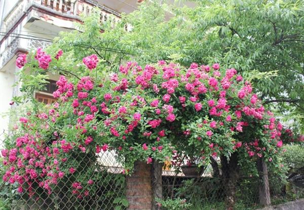 trồng hồng leo trước cổng nhà 11