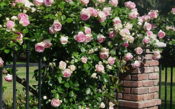 trồng hồng leo trước cổng nhà 14