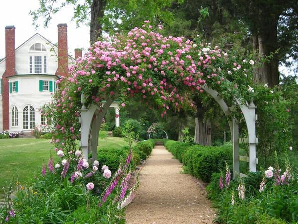 trồng hồng leo trước cổng nhà 15