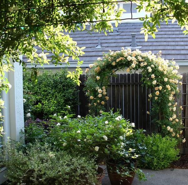 trồng hồng leo trước cổng nhà 16