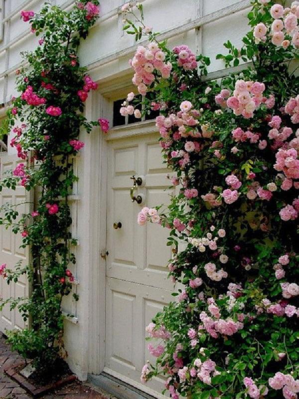 hoa hồng leo 1
