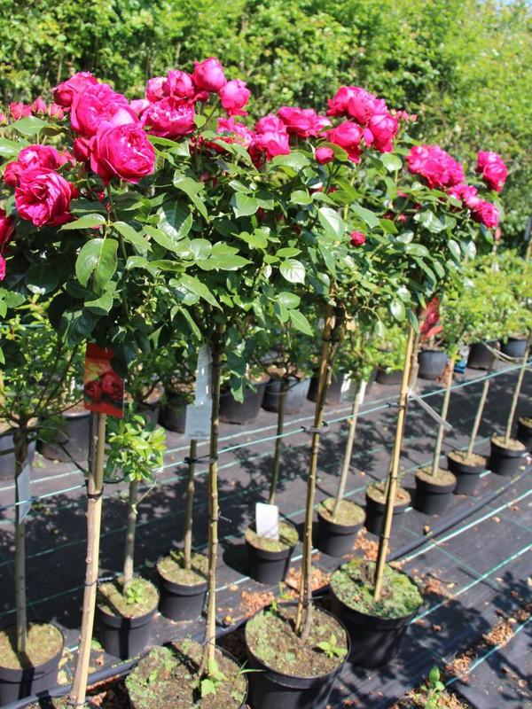 hoa hồng ngoại 9