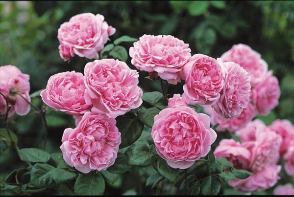hoa hồng ngoại 1