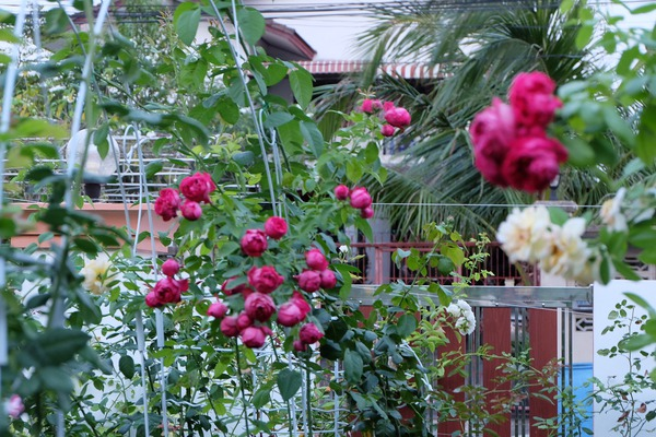 hoa hồng ngoại 10