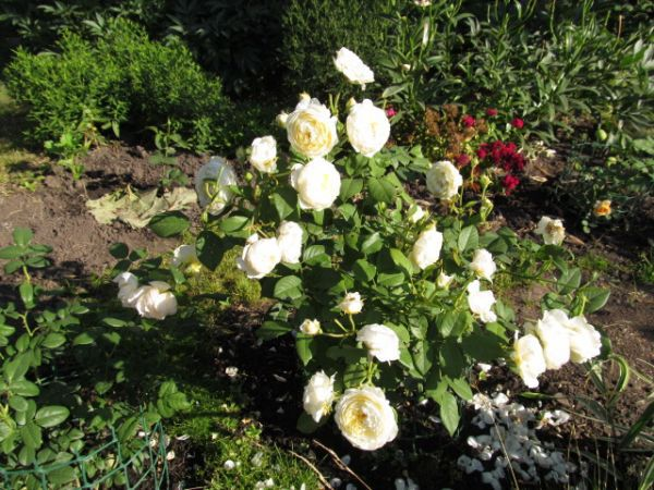 hoa hồng ngoại 3