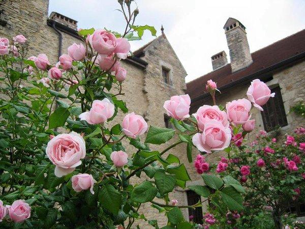 hoa hồng ngoại6