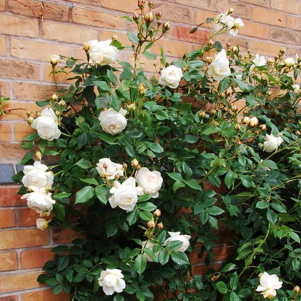 hoa hồng ngoại 4