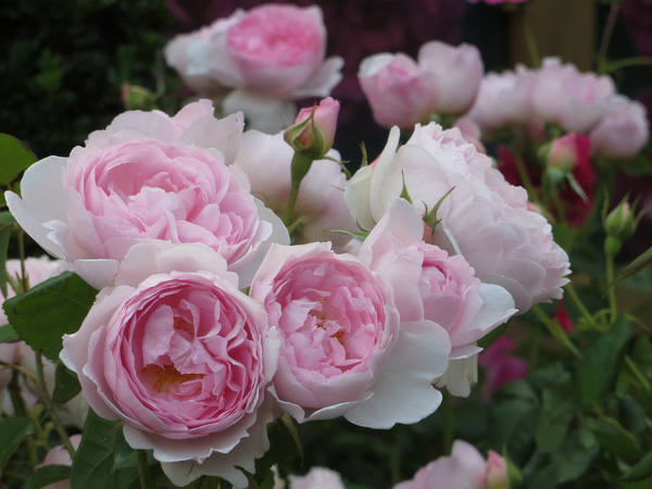 hoa hồng ngoại 8