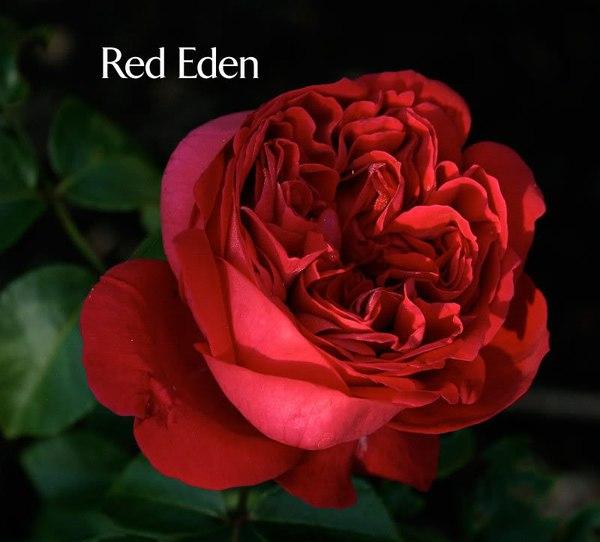 hoa hồng ngoại 11