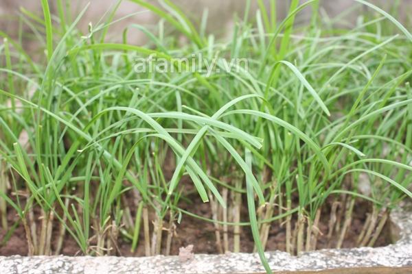 Hà Nội rộ mốt trồng rau sạch tại gia 9