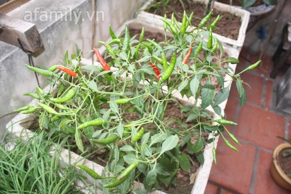 Hà Nội rộ mốt trồng rau sạch tại gia 10