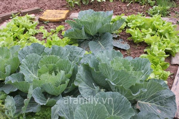 Hà Nội rộ mốt trồng rau sạch tại gia 12