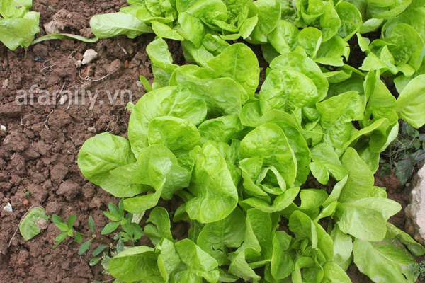Hà Nội rộ mốt trồng rau sạch tại gia 4