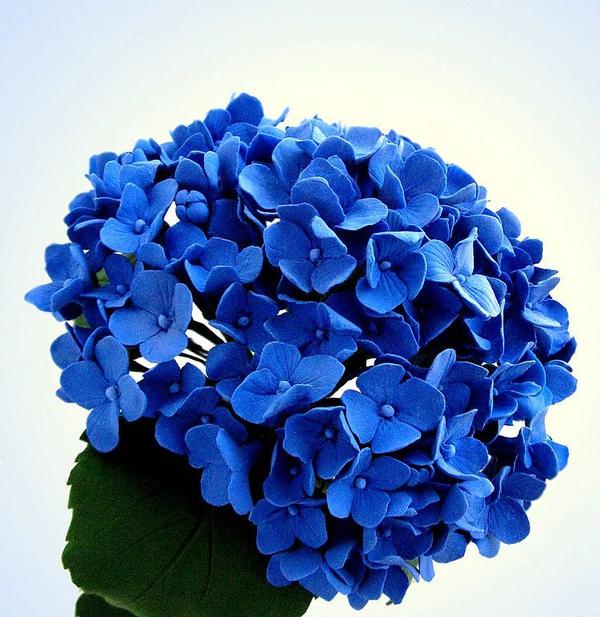 Làm hoa cẩm tú cầu đẹp như hoa thật 14