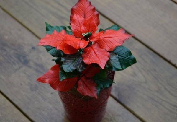 Noel này, trang trí nhà với hoa trạng nguyên thật đẹp! 16