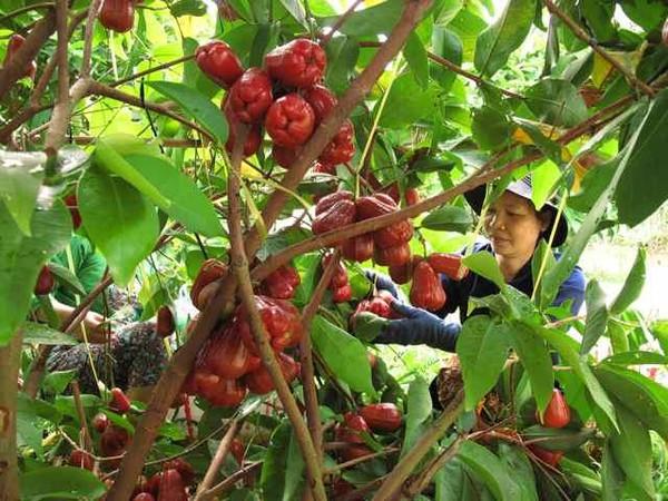 Điểm danh 4 vựa trái cây lớn nhất Nam Bộ 3